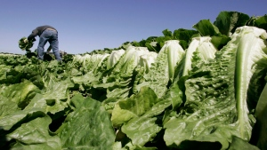 A worker harvests romaine lettuce in Salinas, Calif on Aug. 16, 2007. THE CANADIAN PRESS/AP, Paul Sakuma