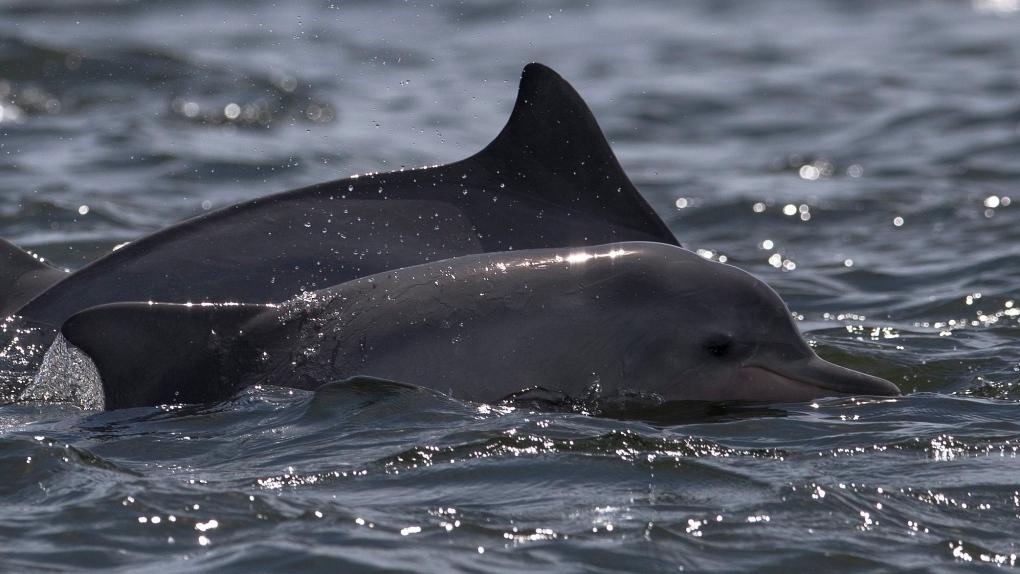Guiana dolphins in Brazil