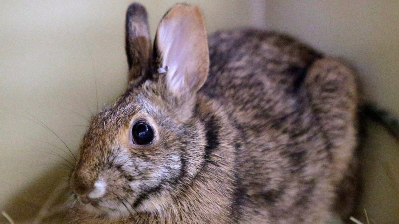 In this June 21, 2016 photo, a New England cottontail rabbit sits in a cage in Providence, R.I. (THE CANADIAN PRESS/AP-Steven Senne)