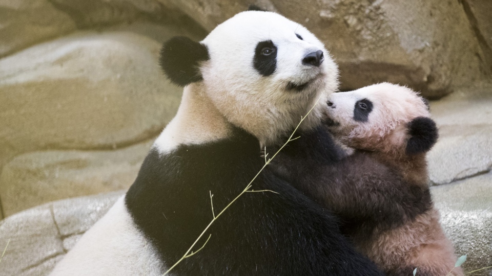 Panda cub Yuan Meng plays with her mother Huan Huan at the Beauval Zoo, in Saint-Aignan-sur-Cher, France on Jan. 13, 2018. (Zoo Parc de Beauval via AP)