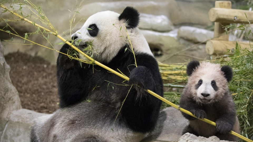 Panda cub Yuan Meng eats bamboo with her mother Huan Huan at the Beauval Zoo, in Saint-Aignan-sur-Cher, France, on Jan. 13, 2018. (Zoo Parc de Beauval via AP)