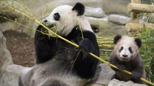 """Panda cub Yuan Meng, which means """"the realization of a wish"""" or """"accomplishment of a dream"""", eats bamboos with her mother Huan Huan at the Beauval Zoo, in Saint-Aignan-sur-Cher, France, Saturday, Jan. 13, 2018. France's first baby panda has made his grand public entree, acting like many five-month-olds _ climbing all over his reclining mother who appeared to want to rest. (Zoo Parc de Beauval via AP)"""