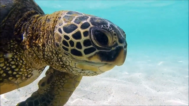 Climate Change Is Causing More Green Turtles To Be Born Female