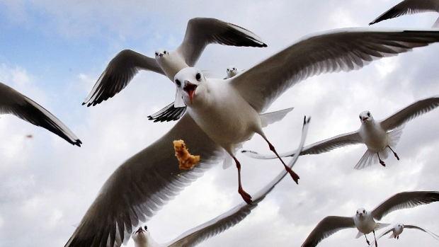 Sea gulls fly at the beach in Germany