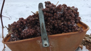 After some delay, the ice wine harvest is underway at Georgian Hills Vineyards in The Blue Mountains, Ont. on Monday, Jan. 15, 2018. (Sean Grech/ CTV Barrie)