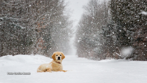 12-week-old Ben takes a break on a snowy walk.(Caroline Bennett/CTV Viewer)