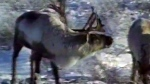 Endangered caribou herd takes flight