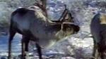Endangered caribou herd takes flight