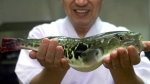Fugu, or a blowfish, is shown at a restaurant in Shimonoseki, southwest of Tokyo on Nov. 16, 2000. (AP Photo/Itsuo Inouye)