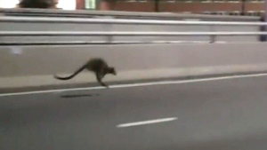 Extended: Runaway wallaby hops down Sydney bridge
