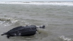 Leatherback sea turtle moves off the beach at the Isle of Palms, S.C., on March 12, 2015. (Bruce Smith / AP)