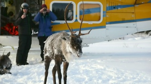 Caribou rescue on Michipicoten Island