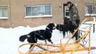 CTV Montreal: Montreal's urban dog sledder