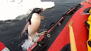 Extended: Curious penguin visits researchers