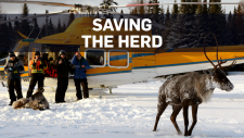 Ontario relocating caribou by helicopter
