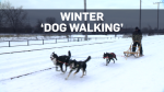Montreal man turns dog walking into dogsledding