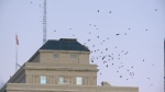 Ravens are shown in Regina's downtown on Jan. 17, 2018