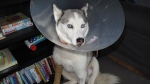 Meka the husky is shown in this image from a GoFundMe page.