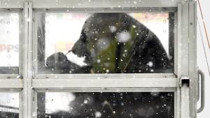 One of the two giant pandas, male Hua Bao (in Finnish Pyry) and female Jin Bao Bao (in Finnish Lumi), arriving to Helsinki-Vantaa airport in Vantaa, Finland on Thursday January 18, 2018. (Markku Ulander/ Lehtikuva via AP)