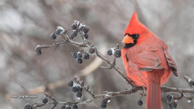 Male Northern Cardinal in Eastern Ontario on Tuesday, Jan. 16, 2018. (Greg McIntosh/CTV Viewer)