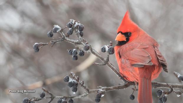 Male Northern Cardinal in Eastern Ontario on Tuesday, Jan. 16, 2018. (Greg McIntosh/CTV Viewer)