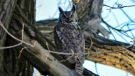 Found a Great Horned Owl hanging out. Photo by Patricia Garrod.