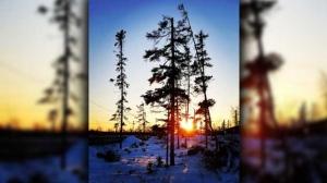 Jack Pine and a beautiful sunset. Photo by Nadine Hart.
