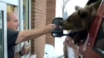 Concerns are being raised about a video of a Kodiak bear from a central Alberta zoo being taken through a fast-food drive-thru and being hand-fed ice cream by the restaurant's owner. (Discovery Wildlife Park/Facebook)