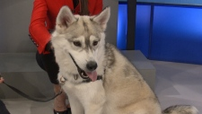 Pet of the Week: Nyla, the Siberian Husky
