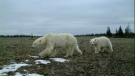 Two polar bears in Manitoba's Wapusk National Park captured by cameras set up by University of Saskatchewan Professor Doug Clark (Courtesy: University of Saskatchewan).