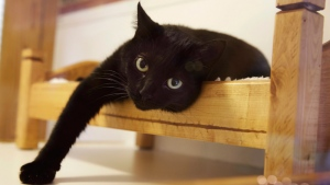In this Tuesday, Aug. 4, 2015 photo a black cat lounges on a small bed in Morristown, N.J.  (AP / Mel Evans)