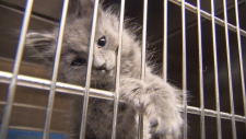 SPCA calls for end to practice of declawing cats