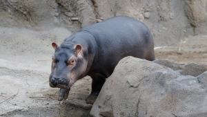 Fiona, a baby Nile Hippopotamus, walks through her enclosure at the Cincinnati Zoo & Botanical Garden, Wednesday, Jan. 10, 2018, in Cincinnati. (AP Photo/John Minchillo)