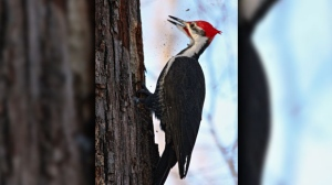A Pileated Woodpecker chiselling out a nesting cavity. Photo by Allan Robertson.