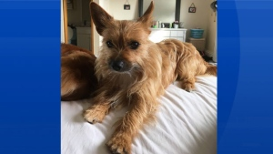 Halifax Regional Police say this dog is missing and is believed to have been killed. (Facebook)