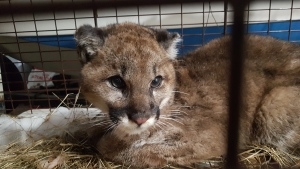 A young cougar is seen in this undated handout photo. (Ron LeBlanc)
