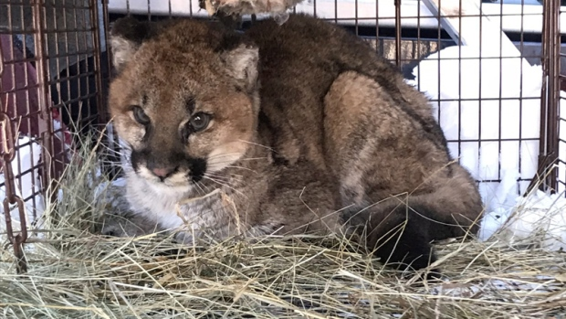 A young cougar is seen in this undated handout photo. An orphaned cougar is recovering from frostbite and hunger in Williams Lake, B.C., after conservation officers enticed him into a trap with sardines and some lamb. THE CANADIAN PRESS/Ron LeBlanc