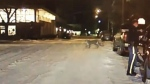 Cougar in Banff townsite