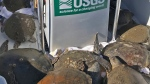 This photo provided by U.S. Geological Survey, sea turtle scientist Margaret Lamont pilots a boat loaded with 52 cold-stunned sea turtles scooped out of St. Josephs Bay in the Florida Panhandle. (U.S. Geological Survey via AP)