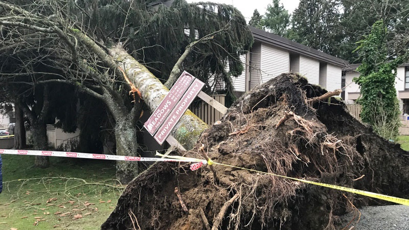 This tree fell on a Surrey townhome on Jan. 21, 2018.