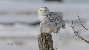 Snowy Owl testing its balance. (Terry Merkley/CTV Viewer)