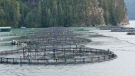 CTV National News: Pressure on fish farms