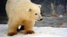 A polar bear is seen at Assiniboine Park Zoo in Winnipeg, Man. in this undated handout photo. (Assiniboine Park Zoo)