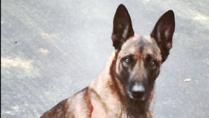 Veda the police dog, seen here, was bitten by a suspect in an altercation with the New Hampshire State Police. (New Hampshire Canine Trooper's Association/Facebook)