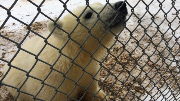 Meet Baffin and Willow: Names Chosen for Winnipeg Zoo's Newest Polar Bears