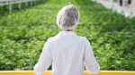 An Aphria worker look out over a crop of marijuana in an undated handout image. (THE CANADIAN PRESS/HO-Aphria)