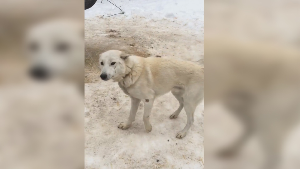 A dog at the Windrift Kennels in Moonstone, Ont., is shown in a video posted to Facebook. (Dylan Blake/Facebook)