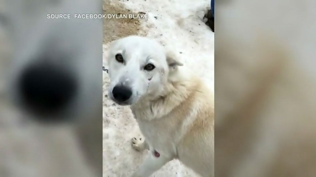 Ospca Investigating Dog Sledding Company Over Animal Cruelty