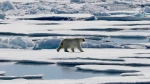 In this July 21, 2017 photo, a polar bear walks over sea ice floating in the Victoria Strait in the Canadian Arctic Archipelago. (AP /David Goldman)