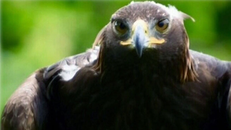 Riff-Raff is between three and five years old, weighs about 13 pounds, and stands about two-and-a-half feet tall. The eagle is described as brown with white flecks.